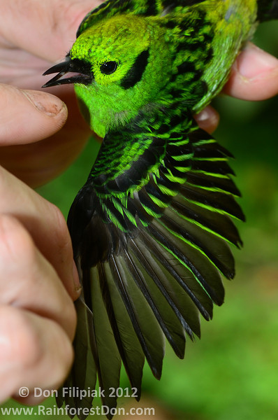 Emerald Tanager (<i>Tangara florida</I>) Rara Avis Rainforest Reserve, Costa Rica
