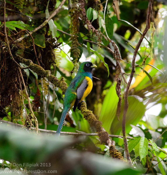 Black-throated Trogon (<i>Trogon rufus</i>) Rara Avis, Costa Rica