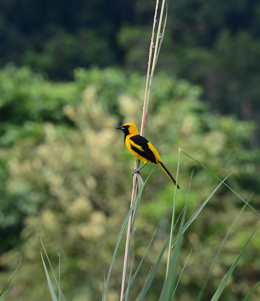 Yellow-tailed Oriole  (<i>Icterus mesomelas</i>)  from just outside the famous Pipeline Road in Gamboa, Panama.