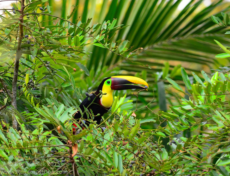 Chestnut-mandibled Toucan (<i>Ramphastos swainsonii</i>)  Finca La Escondida, Costa Rica March 2013