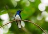 White-necked Jacobin (<I>Florisuga mellivora</i>) Rara Avis Rainforest Reserve, Costa Rica