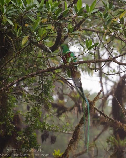 Resplendent Quetzal (<i>Pharomachrus mocinno</i>) Cerro Dantas Wildlife Refuge, Costa Rica