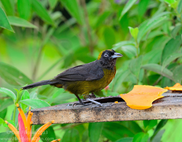 Dusky-faced Tanager (<i>Mitrospingus cassinii</i>) Puerto Viejo de Sarapiqui, Costa Rica