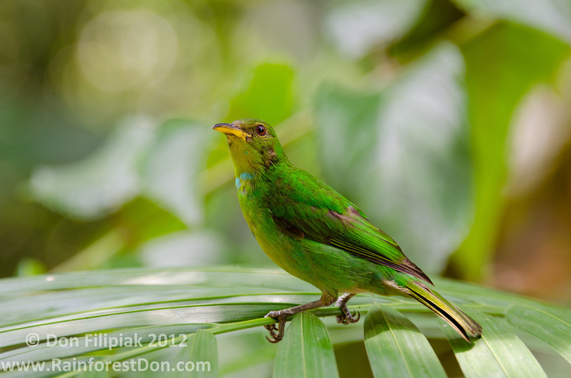 This Green Honeycreeper (<i>Chlorophanes spiza</i>) appears to be an old female Gamboa, Panama