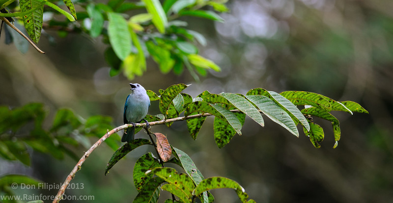 Blue-gray Tanagers (<I>Thraupis episcopus</i>) are neither blue nor gray; talk amongst yourselves...