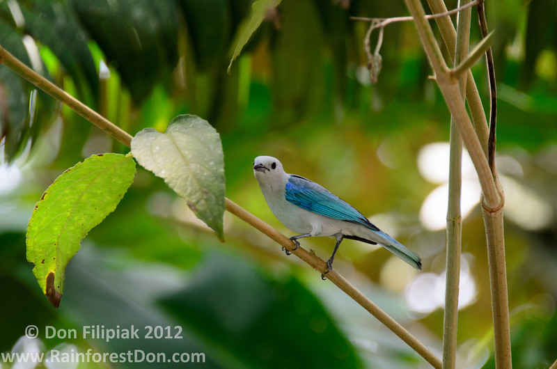 Blue-gray Tanager (<i>Thraupis episcopus</i>) Gamboa, Panama