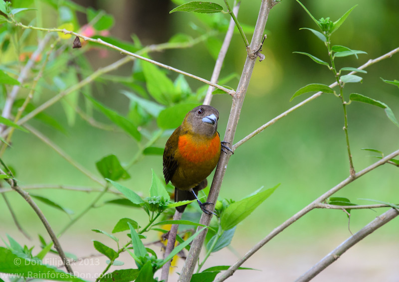 Cherrie's Tanager (<I>Ramphocelus costaricensis</i>), female