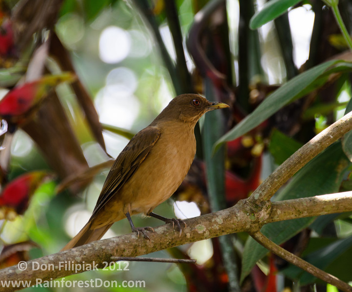 Costa Rica's national bird, the Clay-colored Robin (<i>Turdus grayi</i>)