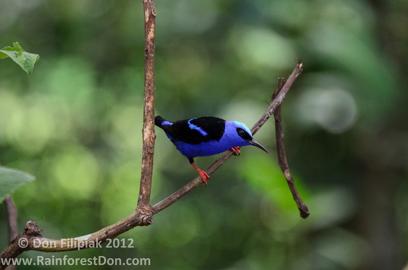 An adult male Red-legged Honeycreeper (<i>Cyanerpes cyaneus</i>) Gamboa, Panama