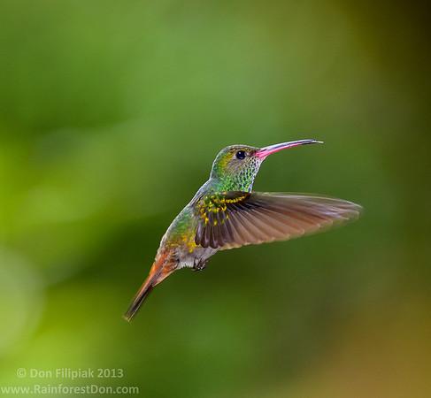 Rufous-tailed Hummingbird (<i>Amazilia tzacatl</i>) Rara Avis Rainforest Reserve, Costa Rica