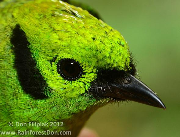 A closeup photo showing the facial feather details on an Emerald Tanager (<i>Tangara florida</i>)