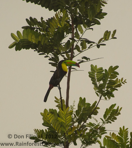 Keel-billed Toucan out foraging in the rain at the Rara Avis Rainforest Reserve in Costa Rica