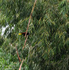 Montezuma Oropendola (<I>Psarocolius montezuma</i>) Puerto Viejo de Sarapiqui, Costa Rica