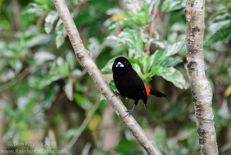Cherrie's Tanager (<I>Ramphocelus costaricensis</i>), male