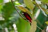 Crimson-backed Tanager (<i>Ramphocelus dimidiatus</i>) from Gamboa, Panama