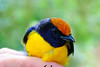 Birds with orange mohawks! A male Tawny-capped Euphonia (<i>Euphonia anneae</i>) from the Rara Avis Rainforest Reserve in Costa Rica.