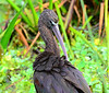 Glossy Ibis (<i>Plegadis falcinellus</i>)