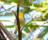 Yellow-throated Warbler (<I>Setophaga dominica</i>) Palm Beach County, Florida January 2014