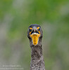 The real Angry Birds Double-crested Cormorant (<i>Phalacrocorax auritus</i>) Everglades National Park, Florida