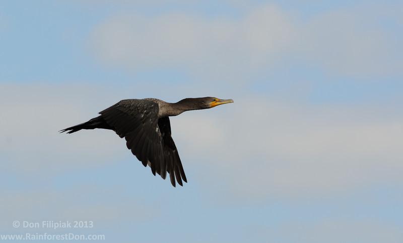 Double-crested Cormorant (<i>Phalacrocorax auritus</i>)  Flight Everglades National Park, Florida