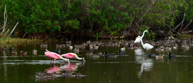 A pair of Roseate Spoonbills (<i>Platalea ajaja</i>) feeding alongside American Egrets (<i>Ardea alba</i>), Northern Shovelers (<i>Anas clypeata</i>), Green-winged Teals (<i>Anas carolinensis</i>), Blue-winged Teals (<i>Anas discors</i>), and American Coots (<i>Fulica americana</i>).
