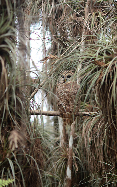The air plants (<i>Tillandsia fasciculata</i>) in this Everglades cypress dome provide excellent camouflage for a Barred Owl (<i>Strix varia</i>).