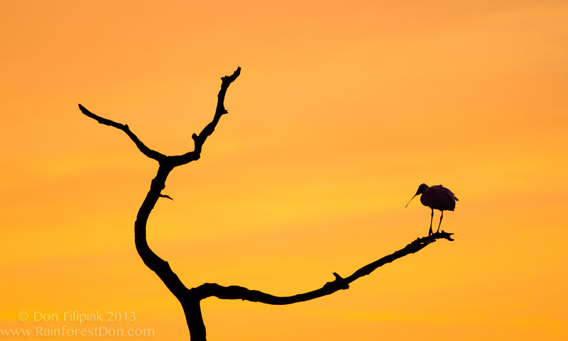 Silhouetted Roseate Spoonbill (<i>Platalea ajaja</i>) at sunset