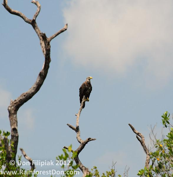 Four photo series of a Bald eagle (<i>Haliaeetus leucocephalus</i>) as it takes flight over Florida Bay 1 of 4