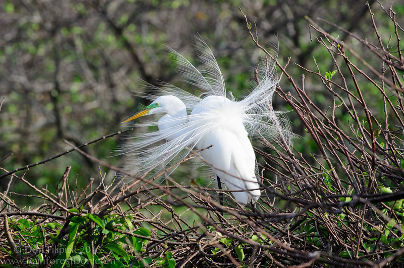 Great Egret (<i>Ardea alba</i>) in breeding plumage