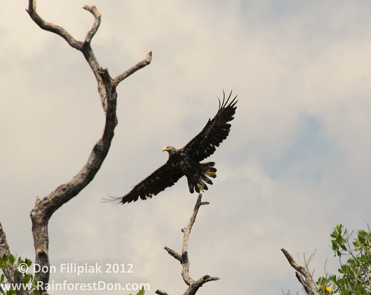 Four photo series of a Bald eagle (<i>Haliaeetus leucocephalus</i>) as it takes flight over Florida Bay 2 of 4