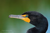 Double-crested Cormorant (<i>Phalacrocorax auritus</i>)