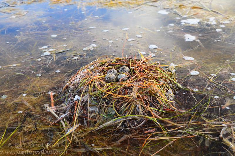 Black-necked Stilt nest<br /> Florida Bay, Everglades National Park, Florida<br /> July 2013