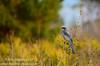 Florida Scrub Jay (<i>Aphelocoma coerulescens</i>)