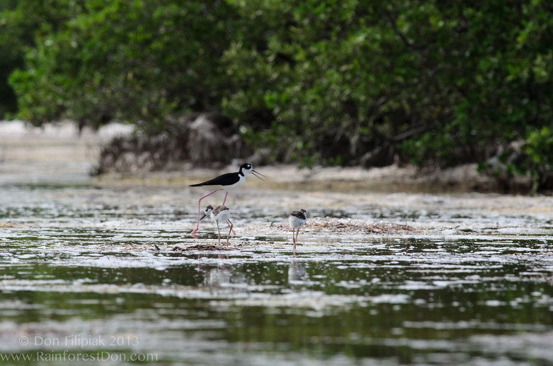 Black necked Stilt (<I>Himantopus mexicanus</i>) chicks with parent on tidal mudflats Everglades National Park, Florida July 2013