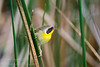 Common Yellowthroat (<I>Geothlypis trichas</i>) Palm Beach County, Florida January 2014