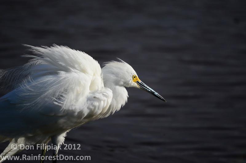 Snowy Egret (<i>Egretta thula</i>)