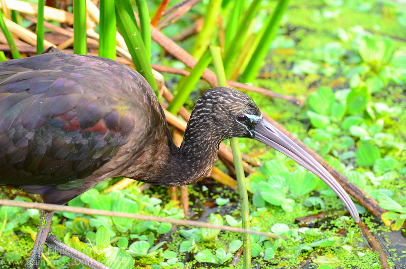 Metallic hues of green, red, and purple shimmer off the wings of this Glossy Ibis (<i>Plegadis falcinellus</i>)
