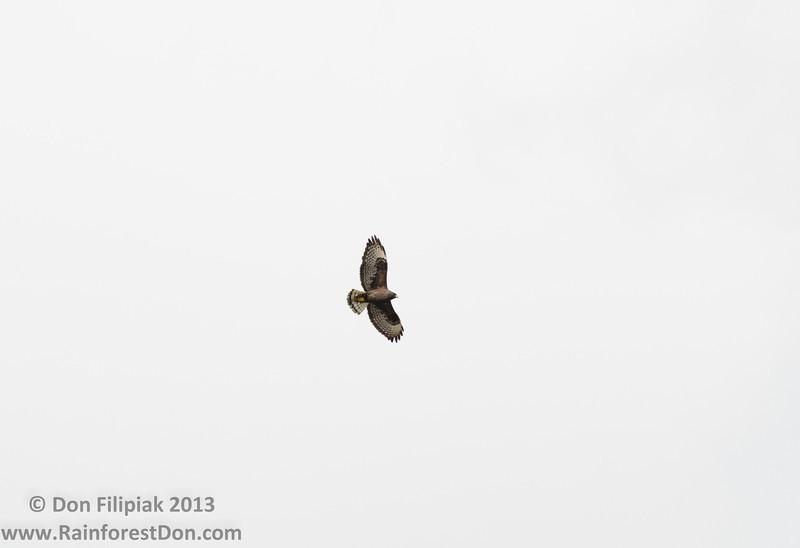 Short-tailed Hawk (Buteo brachyurus)<br /> Dark morph<br /> Everglades National Park, Florida