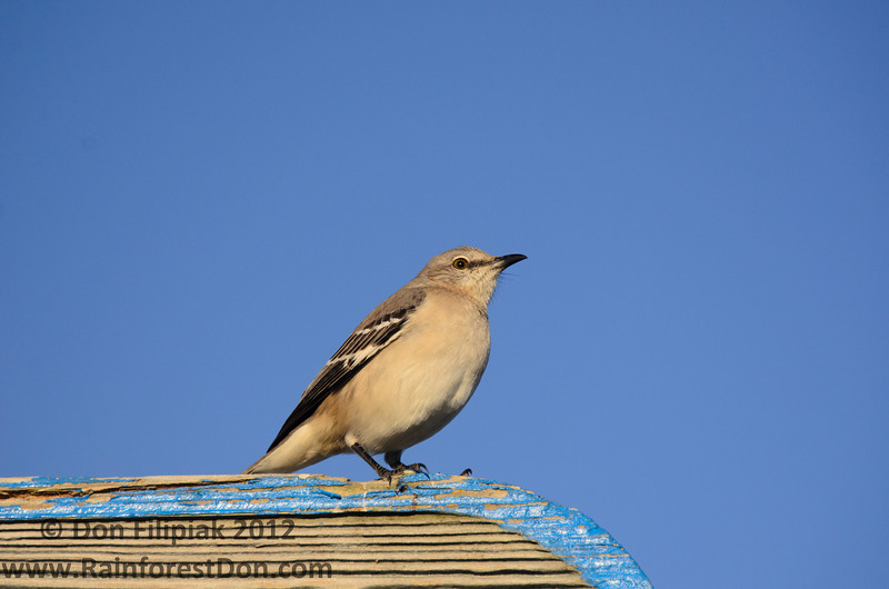 Northern Mockingbird (<i>Mimus polyglottos</i>) Florida City, Florida