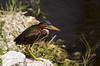 Green Heron (<i>Butorides virescens</i>)