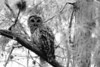 This Barred Owl (<i>Strix varia</i>) was photographed in a cypress dome in the Florida Everglades.