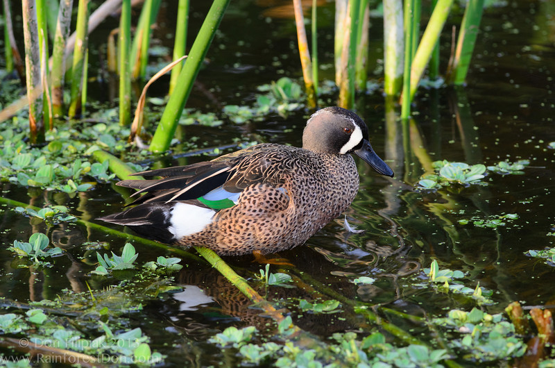Blue-winged Teal showing both blue and green on the wing...sneaky sneaky!