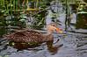Mottled Duck (<i>Anas fulvigula</i>)