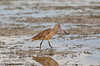 Marbled Godwit on Florida Bay