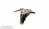 Brown Pelican (<i>Pelicanus occidentalis</i>)