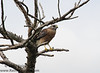 Red-shouldered Hawk (<i>Buteo lineatus</i>)