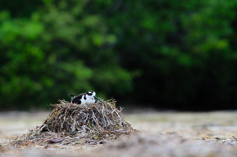 Black necked Stilt (<I>Himantopus mexicanus</i>) female sitting on nest Everglades National Park, Florida July 2013