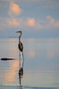 Great Blue Heron (<i>Ardea herodias</i>) on Florida Bay just before the sun set.