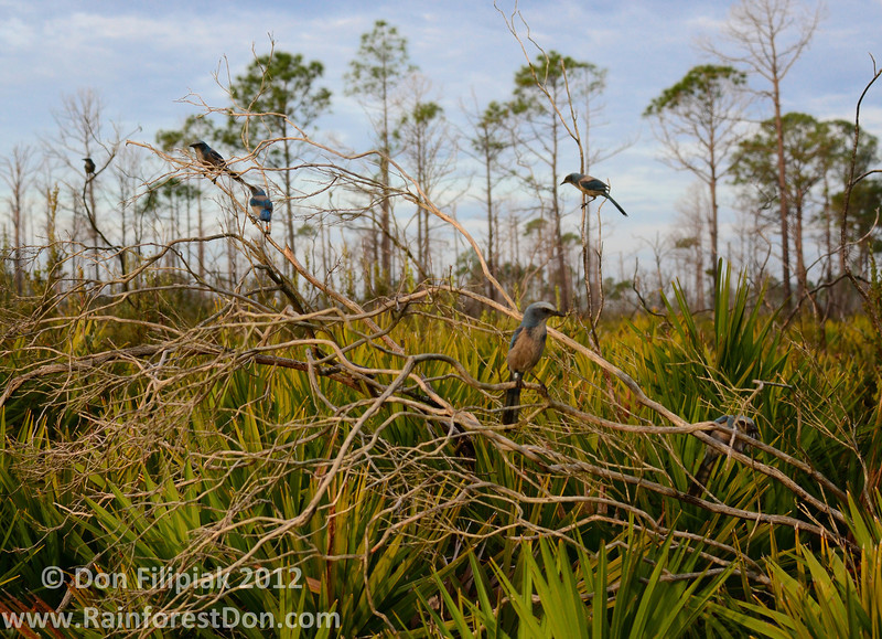 If you look closely you can see the bands on the legs of these Florida Scrub Jays (<i>Aphelocoma coerulescens</i>). These were birds were part of a population study being conducted at Archbold Biological Station, central Florida.