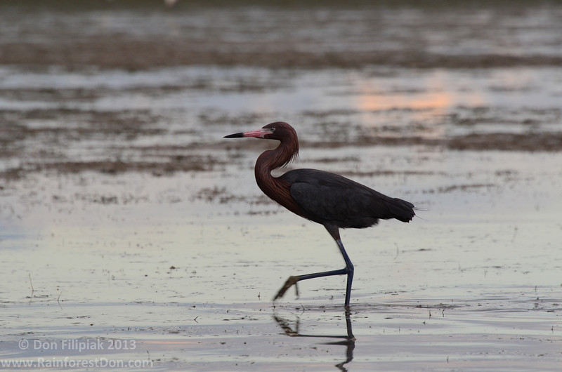 Reddish Egret hunting the tidal mud flats of Florida Bay